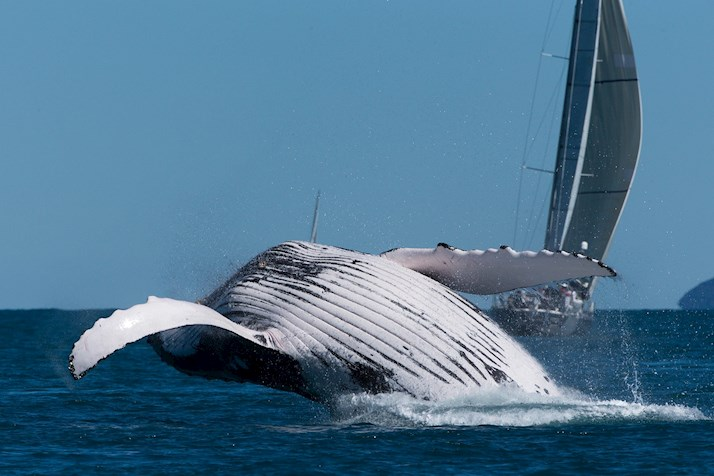 Watch the whales swim around the Whitsundays - luxury resort Hamilton Island